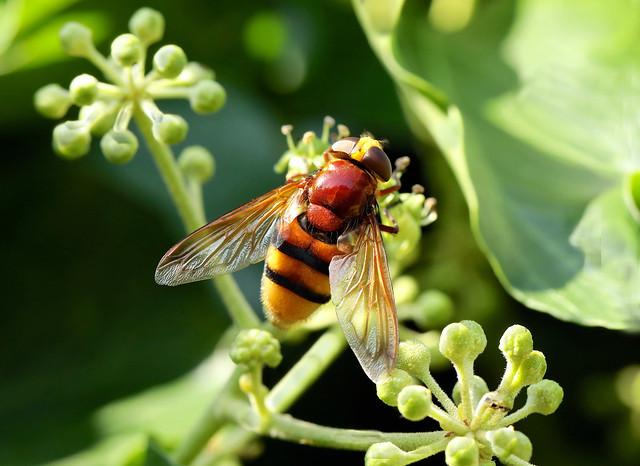 Hornet Hoverfly --- Volucella zonaria