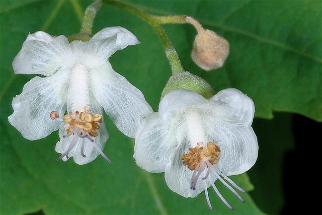 Napaea dioica  Amérique Nord