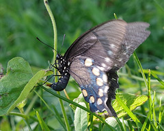 Pipevine Swallowtail Laying Eggs