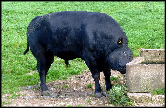 A need to scratch,Angus the Bull makes good use of the trough,Derbyshire.