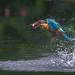 Stork-billed kingfisher / মেঘহও মাছরাঙা