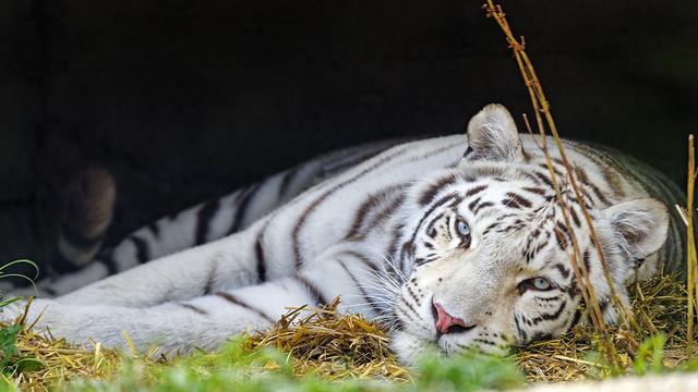Lazy white tigress