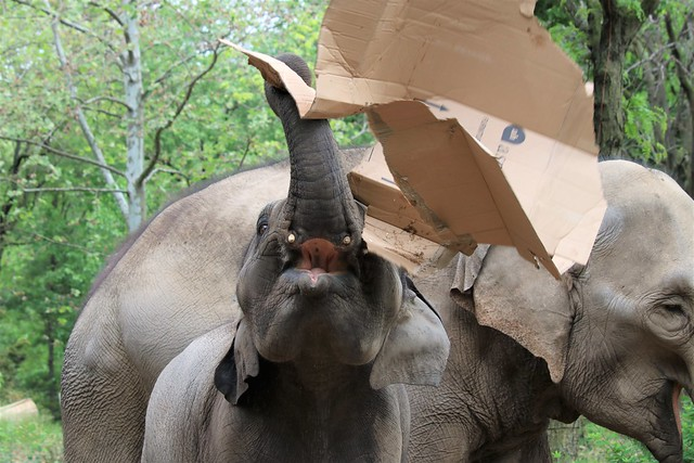 Baby Elephant playing with cardboard