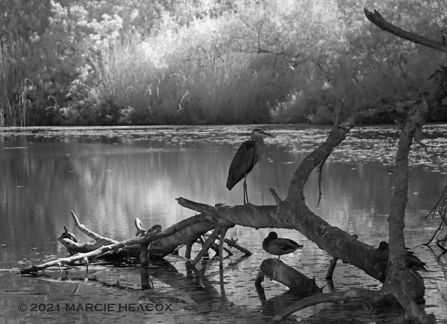 Heron and Duck