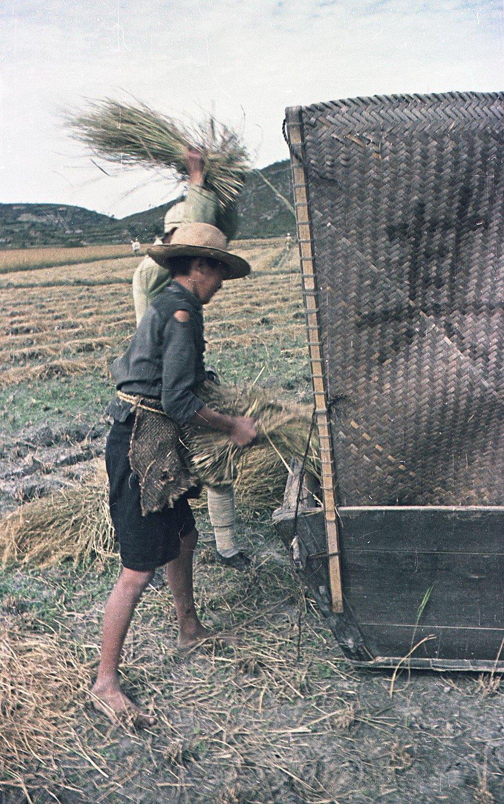 1949. Молотьба риса (1)