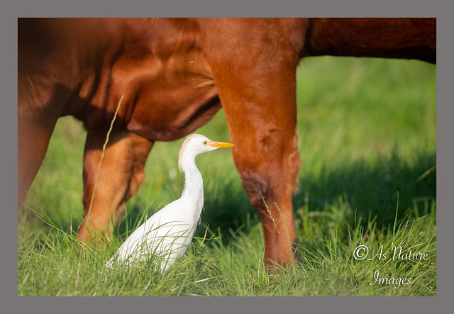 Where Angels fear to tread ! - Cattle Egret