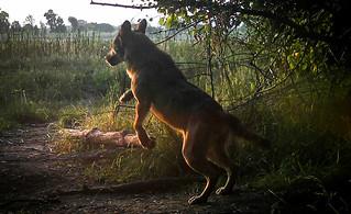 Il lupo, un importante tassello dell'equilibrio naturale nel Parco