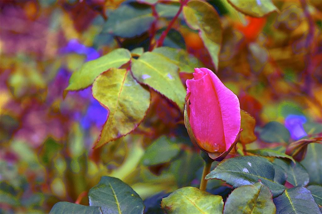 Spring Rose opening up.