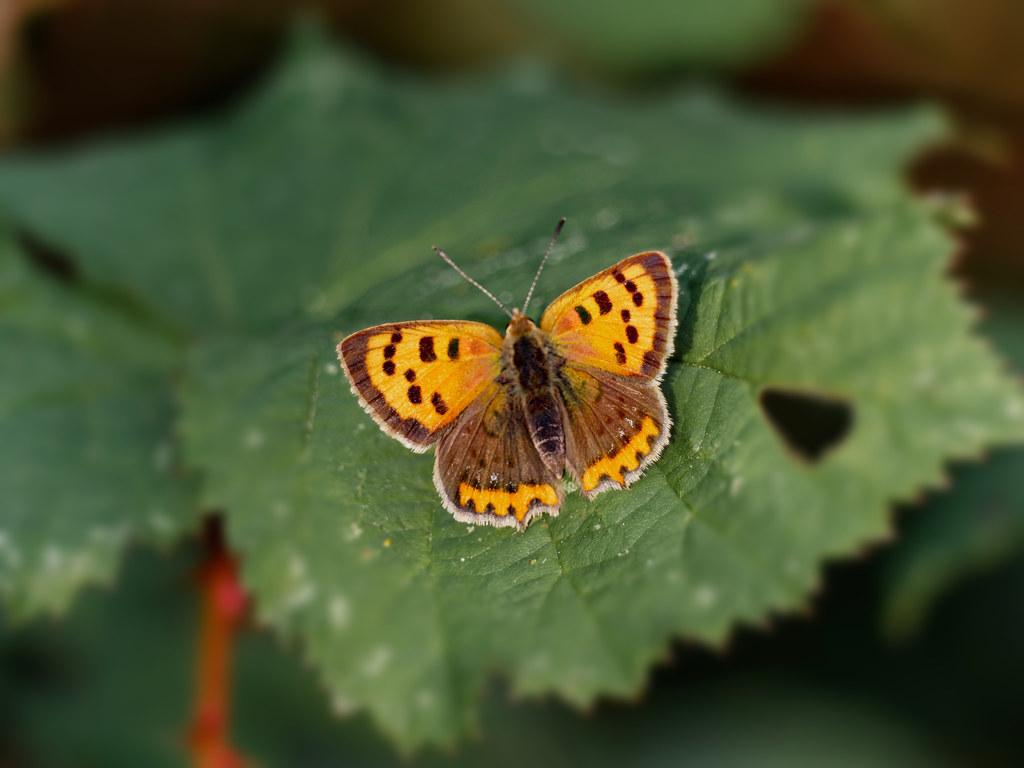 Cuivré commun (lycaena phlaeas)