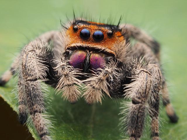 Female Phidippus regius