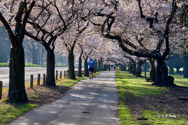 Cherry Blossom lined Path - Hagley Park.