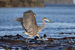 Blue Heron walking over Kelp.