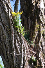 Goldenrod as an Epiphyte