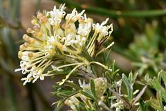 Grevillea trichantha