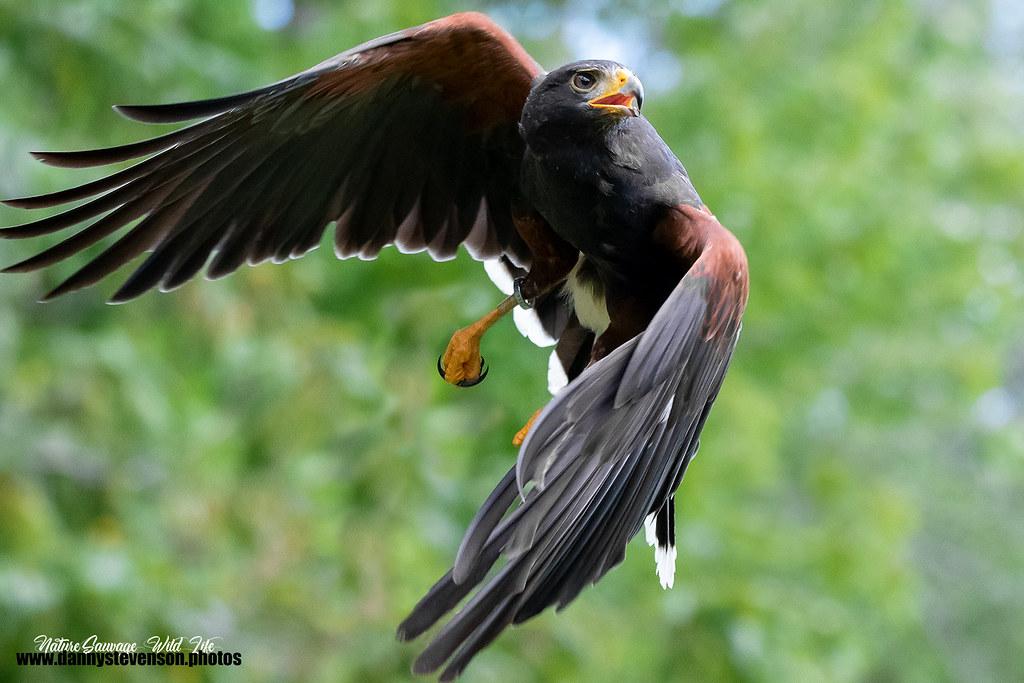Harris's hawk // Buse d'Harris