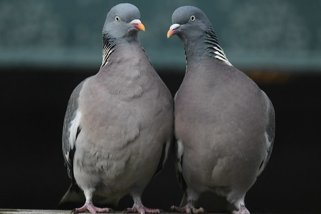 Ringdue, Common wood pigeon, Ringeltaube (Columba palumbus)-1190