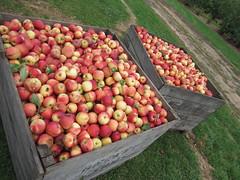 Becker Farms Apple Picking Sept 2021