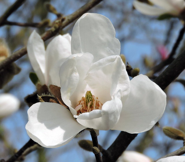 2019-04-02 Magnolia stellata