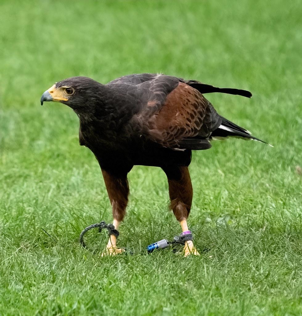 Harris Hawk from @codafalconry
