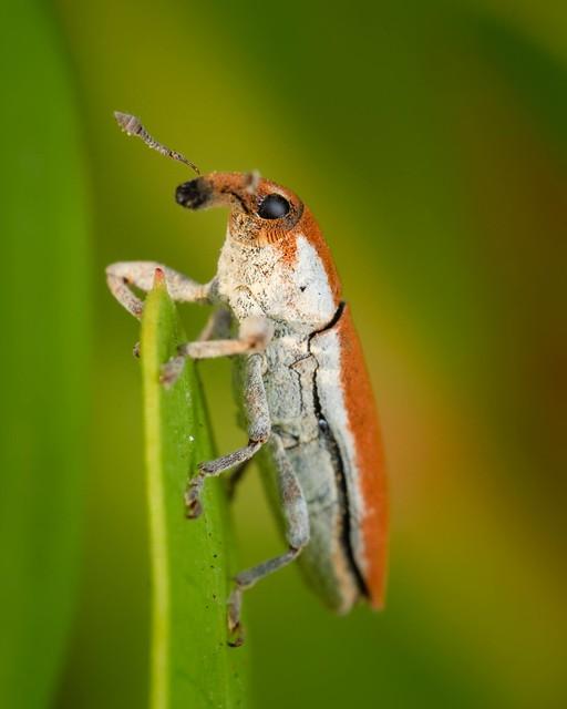 Elongated Bean Weevil