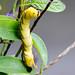 Acherontia lachesis
