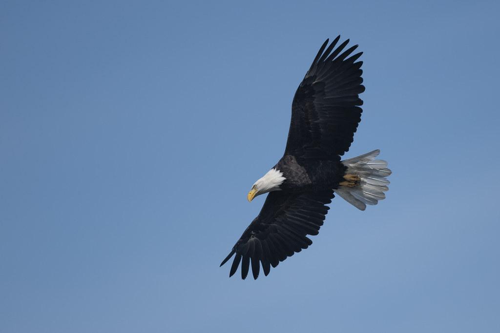 Pygargue à tête blanche / Bald Eagle