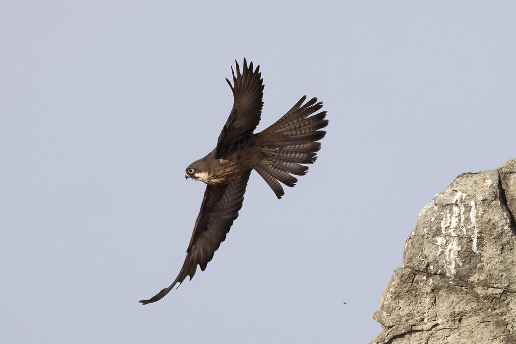 Eleonora's Falcon