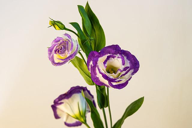Arosa Blue Pictoee Lisianthus