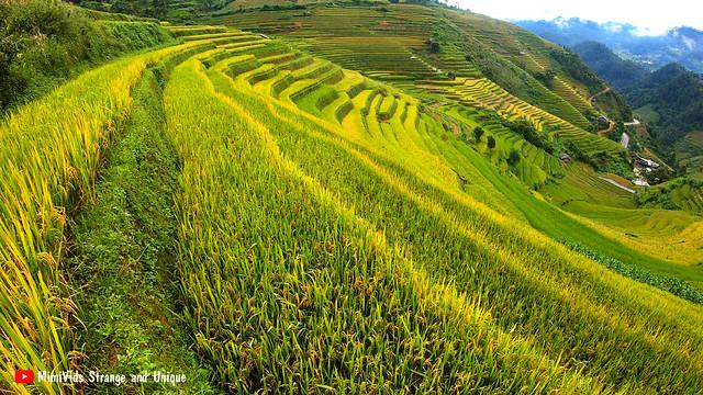 Stunning terraced rice fields filmed during harvest season in Vietnam