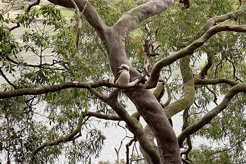 Kookaburra on Tambourine Bay Track