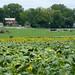 Cows and sunflowers, Dayton, Va.