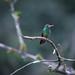 Humming bird on a branch