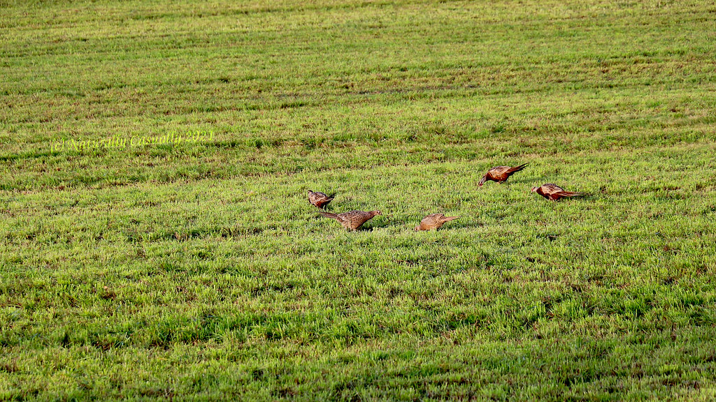 Pheasants in a morning 1920x1080