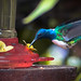 Humming bird in Mindo