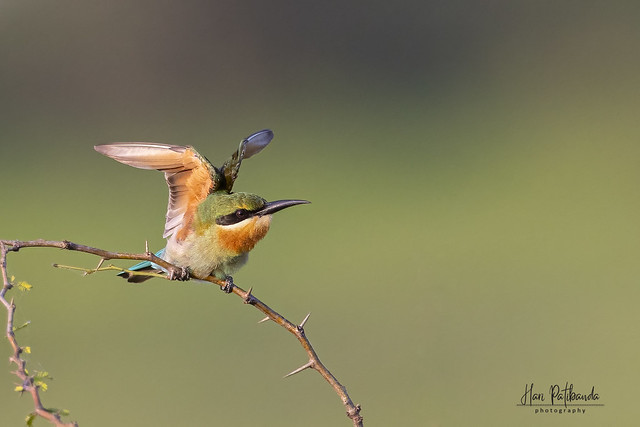A Blue Tailed Bee Eater Stretching itself