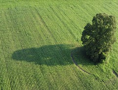Isolated tree in a green corn field
