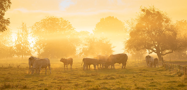 Herd of cows in the light of the rising sun on a foggy autumn morning
