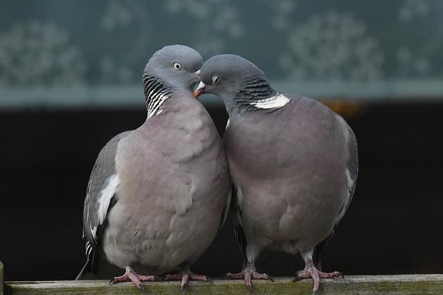 Ringdue, Common wood pigeon, Ringeltaube (Columba palumbus)-1199