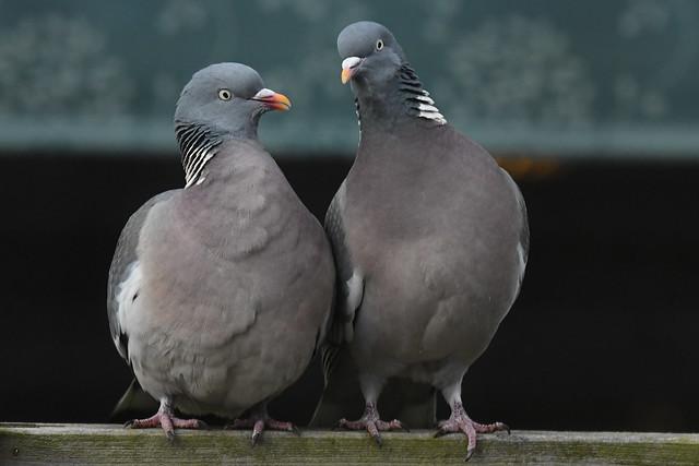 Ringdue, Common wood pigeon, Ringeltaube (Columba palumbus)-1194