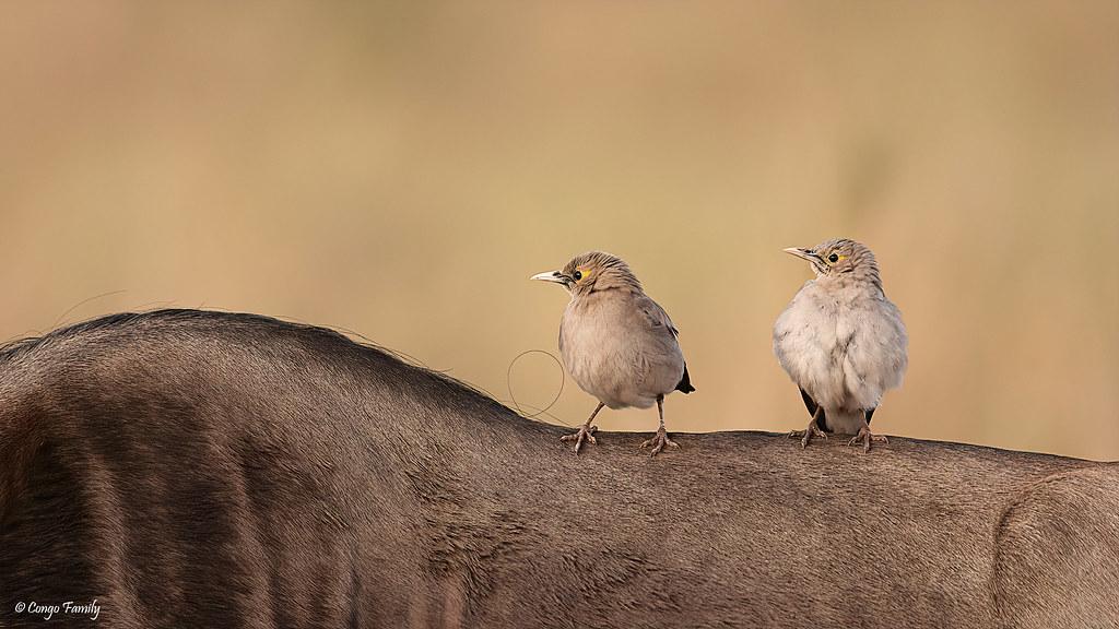 Wattled starlings on a Wildebeest - Etourneaux caronculés sur le dos d'un Gnou