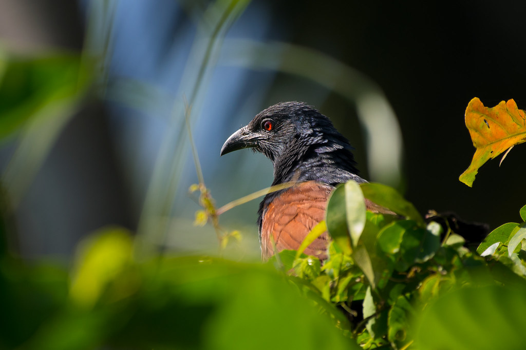 The greater coucal or crow pheasant (Centropus sinensis)