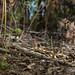 Nodding greenhood (Pterostylis nutans)