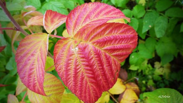 Hallonblad, höst / Raspberry leaf