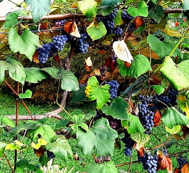 ..eliksir mladosti .. grožđe
