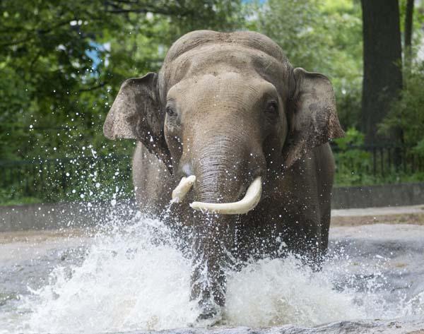 Asiatischer Elefant Victor_Zoo Berlin