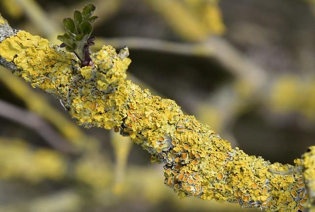Gewöhnliche Gelbflechte (Xanthoria parietina) auf einem alten Holunder (Sambucus nigra); Bergenhusen, Stapelholm (8)