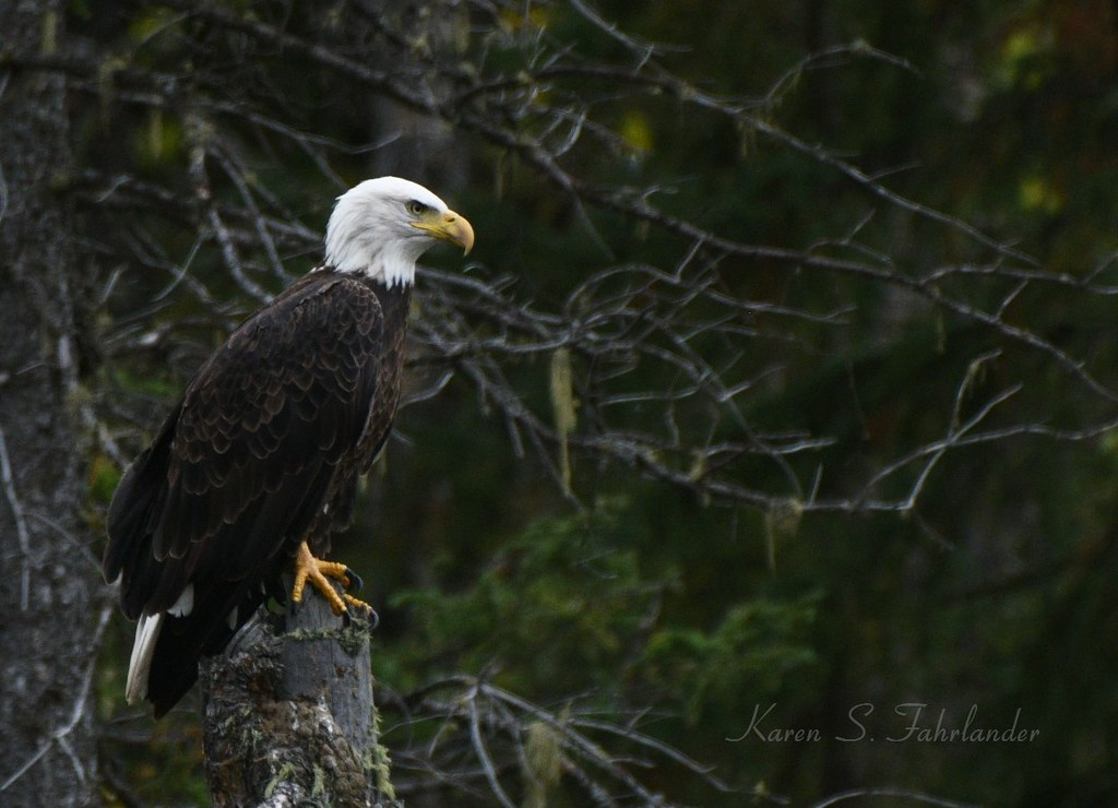 DSC_0779 Bald Eagle