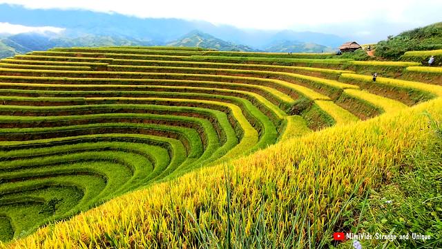 Stunning terraced rice fields filmed during harvest season