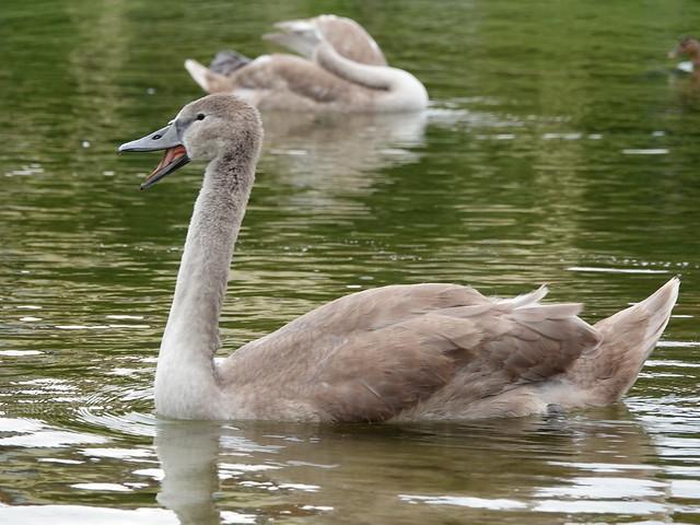 Young Mute Swan / Junger Höckerschwan