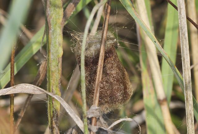 Wasp Spider Egg Pot